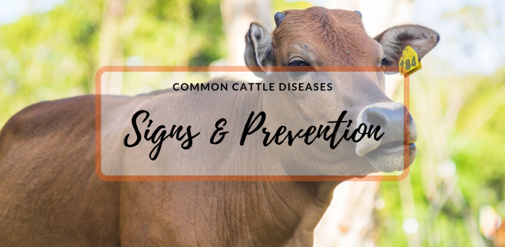 Common Cattle Diseases | Signs and Prevention
